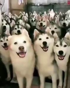 Siberian Husky Puppies And Kids Siberian Husky Puppies, Siberian Huskies, Husky Puppy, Husky Humor, Cute Funny Animals, Cute Baby Animals, Animals And Pets, Cute Puppies, Cute Dogs