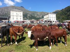#mucche #cows #Oropa Festa di San Bartolomeo #alps