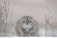 Travel Photographer of the Year 2020 – in pictures | Travel | The Guardian Pallas's Cat, Story Of The Year, Australian Photography, National Geographic Travel, Cat Watch, Multiple Exposure, Photography Competitions, People Of The World, Photography Website