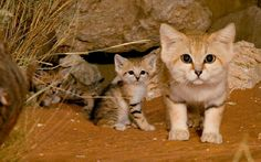 These adorable perma-kittens are called sand cats. They call the deserts of North Africa, Arabia, and Central Asia home.
