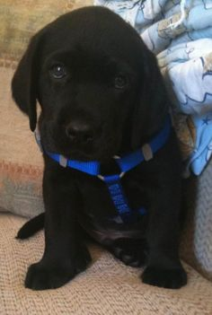 black labrador in a leash. I think Im obsessed with black lab puppies