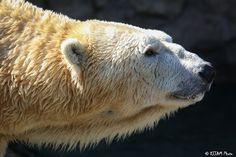 https://flic.kr/p/Fdcq2y | Cincinnati Zoo 3-15-16-6847 | Polar Bear