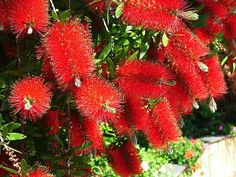 Red Bottlebrush - Callistemon viminalis. Everywhere in San Diego.