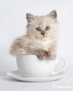 Ragdoll  via A Cup. If it fits, it sits. LOL TG