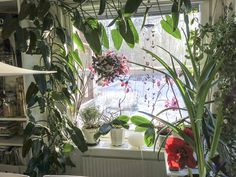 #urbanjunglebloggers #kitchenplants #southernwindow