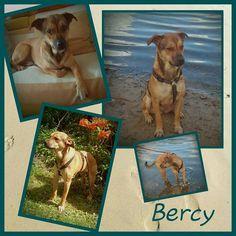Bercy ist ein ca. 1 jähriger Rüde sehr lieb und verträglich. Ein echter Schatz. Auf den Fotos wirkt er vielleicht eher unscheinbar aber Bercy schleicht sich auf leisen Pfoten tief ins Herz.  Dennoch suchen wir eine ruhige Familie ohne Kleinkinder denn zu viel Action stresst ihn. Er ist ein sehr verschmuster anhänglicher und ruhiger Hund wenn er jemanden erst mal kennengelernt hat. Bercy ist absolut stubenrein.   Ein ruhiger Zweithund wäre auch kein Problem für ihn.  Er ist geimpft und…