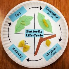 Butterfly life cycle using pasta and paper plates. This was from when I taught second grade. Fun elementary education ideas