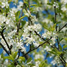 Puffy pink flowering trees arkansas gorgeous texas pinterest a flowering cherry tree mightylinksfo