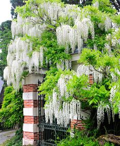 Wisteria floribunda 'Alba' is aprofusely flowering climbing shrub with pendulous racemes of white, delicate pea-like flowers – that hang up to 50 cm long! Fabulous along a wall or over a pergola! Wisteria Plant, White Wisteria, Wisteria Pergola, Diy Pergola, Small Pergola, Pergola Ideas, Rustic Pergola, Wood Pergola, Pergola Designs