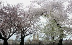 Twitter / My_Cen_ParkNYC: San Remo peaks out from behind the cherry blossoms over Central Park's Reservoir