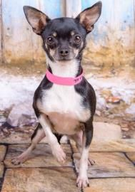 Petango.com – Meet Faye, a 2 years 2 months Chihuahua, Short Coat available for adoption in COLORADO SPRINGS, CO