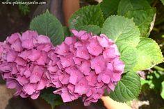 Hydrangea macrophylla, la Hortensia de jardín | Plantas & Jardín