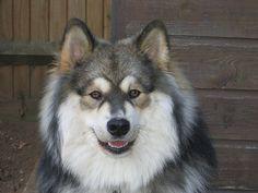 My new favorite dog- wolf sable Finnish Lapphund