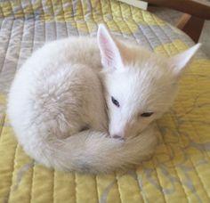 renard-blanc-mignon-domestique-30