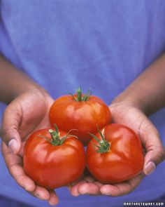 Growing Tomatoes Tips Tomato Growing Guide: All tomatoes fall into one of 2 categories: Indeterminate plants bear fruit continuously up until frost; determinate plants set one large crop Growing Tomatoes Indoors, Growing Veggies, Grow Tomatoes, Cherry Tomatoes, Baby Tomatoes, Organic Fertilizer, Organic Gardening, Gardening Tips, Tomato Garden
