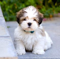 Lhasa Apso Puppy Google Search