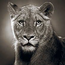 Borani, picture from the series Animal Stars by Alexander Von Reiswitz, artist of category MASTERS at photo art editions LUMAS Lion Photography, History Of Photography, Pictures Online, Art Pictures, Der Ludwig, Contemporary Frames, Museum, Magazine Art, Big Cats