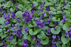 There are 450 different species of Viola in North America and you can eat all of them. Identify violets by their distinctive five-petal flowers and rounded, heart-shaped leaves with branching parallel veins.
