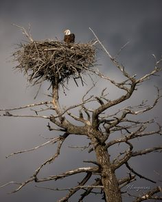 This Bald Eagle nest is near West Yellowstone inside the park next to the road. There are signs telling you not to stop to take pictures (could disturb the eagles). Love Birds, Beautiful Birds, Man In The Maze, West Yellowstone, Eagle Nest, Tier Fotos, Mundo Animal, Birds Of Prey, Bird Watching