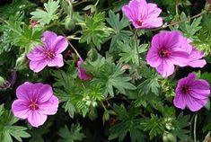so, Blütezeit: 8 - 10, Höhe 20 cm - 50 cm Geranium Sanguineum-Hybride 'Dilys' - Herbst-Storchschnabel