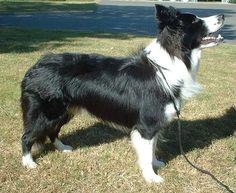 Border Collie 600 - Cão pastor – Wikipédia, a enciclopédia livre