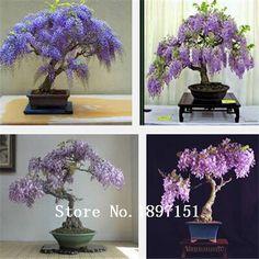 Big verkauf versandkostenfrei, 100st selten gold mini bonsai Glyzinien baum samen innen zierpflanzen