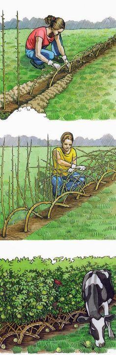 *Building a Living Fence - http://gardeningforyou.info/building-a-living-fence/ #gardening