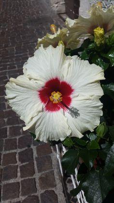 Hibiskus Innsbruck, Plants, Hibiscus, Summer Recipes, Florals, Plant, Planting, Planets
