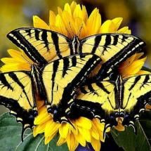 Pretty tiger swallowtails