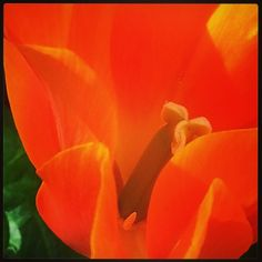 #flowers #orange #tulip #Vancouver #garden #springblooms #nature_shooters #nature_lovers #spring #blossom
