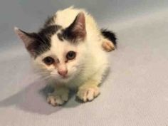 *** TO BE DESTROYED 07/12/16 *** RUBY & SILVER ARE TWO TEN WEEK OLD TYKES WHO NEED A HOME!! They came into the ACC as two relaxed kittens but are now rated EXPNOCHILD?? What happened between intake and now that made these kittens so skittish? These kittens will blossom in the right environment which is not this shelter. They would make a handsome duo adopted together and work off all that kitten energy with each other. RUBY & SILVER are old enough to be publicly adopted or they could also…