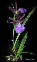 Zygosepalum triste. A species orchid ( color)