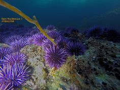 ~ Sea urchins eating a piece of pacific giant brown kelp ~   Urchin's eat kelp similar to the way an electronic pencil sharpener eats a pencil, or a paper shredder eats paper. haha    cheers, -Troy   #ocean   #animals   #underwater   #dive   #freediving   #beach   #oceanphotography   #underwaterphotography   #california   #oc   #gopro   #sealife   #breathehold   #travel   #escape   #happy   #beauty   #adventure   #seaurchins   #sea