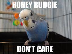 Honey budgie