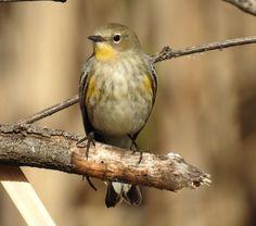 Yellow-Rumped Warbler 112516- (1)