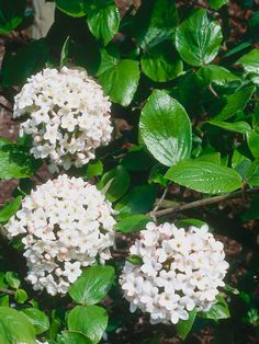 Viburnum:  The compact, semievergreen Burkwood Viburnum 'Anne Russell,' pictured here, produces clusters of intensely fragrant white flowers from mid- to late spring; plant it close to a seating area or pathway, in full or partial sun and well-drained or moist soil, to make the most of its scent. For an evergreen alternative, consider the David Viburnum, which whose dark green oval leaves give way to small white blooms in late spring. Both viburnums will grow up to 5 feet wide and 5 feet tall.