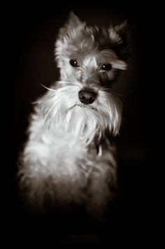 dramatic black white dog portrait by B-Freed Photography, Schnauzer