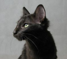Black Longhair oriental cat.