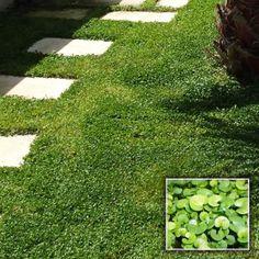 GRAINES DICHONDRA REPENS (SUBSTITUT DE GAZON) Le DICHONDRA REPENS est une plante basse rampante à petites feuilles rondes qui forment un tapis végétal vert foncé très dense et décoratif. Idéal pour constituer des espaces verdoyants.