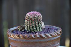 """Echinocereus pectinatus """"Pink Lace Cactus"""" https://youtu.be/C-CCShYwTV0"""