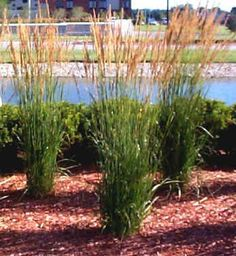 calamagrostis brachytrich korean feather reed grass 06 10 2010 added by andi brogle. Black Bedroom Furniture Sets. Home Design Ideas