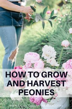Looking to grow and harvest peonies? Here is your complete guide to growing and harvesting Peonies so that you can have beautiful Peonies year after year. Peonies are actually very easy to grow and look beautiful as a landscape plant. I share all my tips Cut Flower Garden, Flower Farm, Flower Beds, Small Flower Gardens, Flower Gardening, Landscaping Plants, Garden Plants, Terrace Garden, Landscaping Ideas