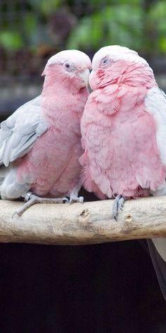 Pretty in Pink love birds Pretty Birds, Love Birds, Beautiful Birds, Animals Beautiful, Birds Pics, Beautiful Pictures, Small Birds, Exotic Birds, Colorful Birds