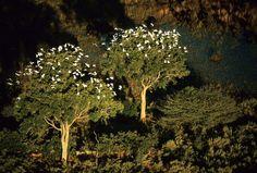 Aironi guardabuoi sugli alberi nel delta dell' Okavango.