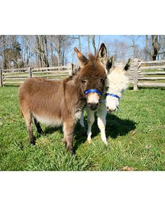 is to own miniature donkeys