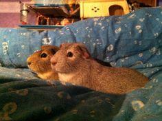 two guinnee pigs
