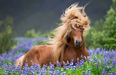 Wind-blown horse A horse braves the wind in a field of lupines in Iceland.