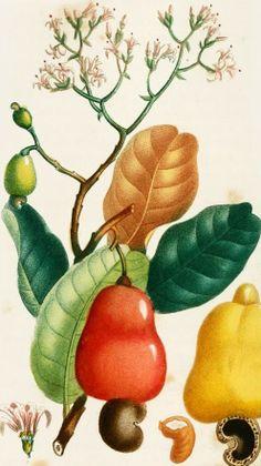 Caju. Ilustração de J. Th. Descourtilz Nature Drawing, Plant Drawing, Fruit Plants, Edible Plants, Plant Illustration, Botanical Illustration, Botanical Drawings, Botanical Prints, Vegetable Painting