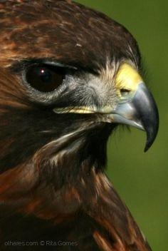 Animais/A águia-real (Aquila chrysaetos)