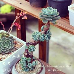 Succulent trained as a bonsai